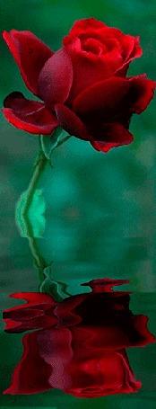 Анимация Алая роза отражается в воде (© 16061984), добавлено: 21.02.2015 16:04