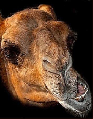 Анимация Жующий свой корм верблюд (© Akela), добавлено: 22.02.2015 03:33