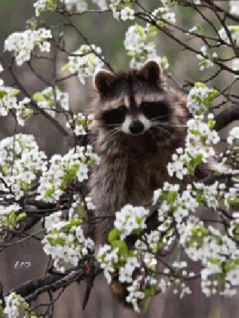 Анимация Енот сидит на ветке цветущего дерева (© chucha), добавлено: 27.03.2015 11:53