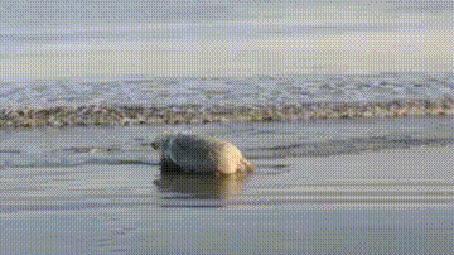 Анимация Свинья купается в море