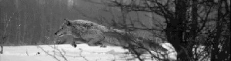 Анимация Волк, бегущий по лесу (© Anatol), добавлено: 30.03.2015 00:34