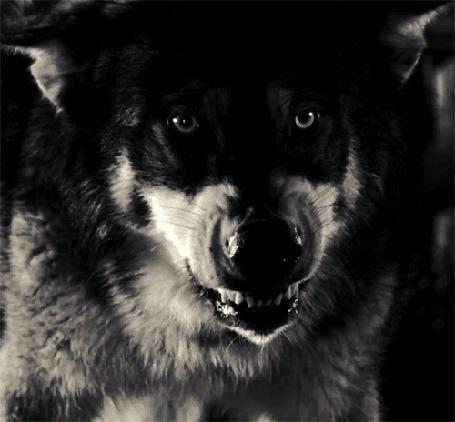 Анимация Злой волк огрызается (© Anatol), добавлено: 30.03.2015 00:53