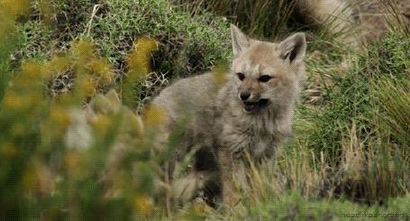 Анимация Волчата играют в высокой траве