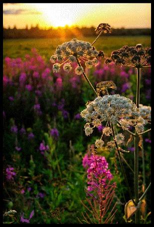 Анимация Ветер колышет цветы в поле (© Morena), добавлено: 30.03.2015 21:11