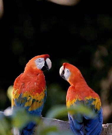 Анимация Целующиеся два попугая (© zmeiy), добавлено: 01.03.2015 07:57