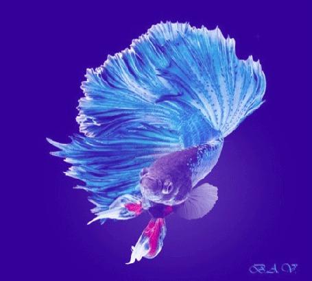 Анимация Рыбка-Петушок на темно -сиреневом фоне, вокруг мерцание (© Ann .), добавлено: 01.03.2015 14:43