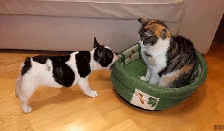 Анимация Собака пытается подвинуть кота, сидящего на его спальном месте