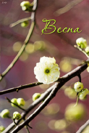 Анимация Веточка цветущего дерева раскачивается на ветру (Весна) (© chucha), добавлено: 02.03.2015 00:52