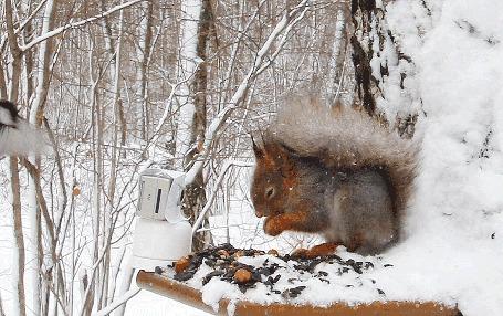 Анимация Белочка в зимнем лесу кушает орешки и прогоняет подлетевшую птичку (© Akela), добавлено: 02.03.2015 03:28