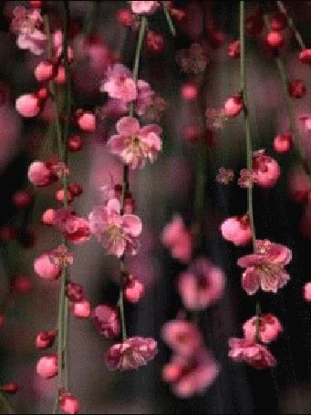 Анимация Слетающие розовые цветы (© zmeiy), добавлено: 02.03.2015 14:05