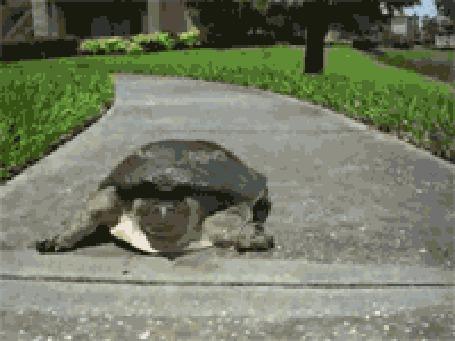 Анимация Испуганная черепаха убегает с невероятной скоростью и прыгает в воду