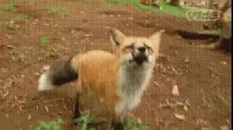 Анимация Фотограф хотел сфотографировать лису, которая украла микрофон с камеры (vice)