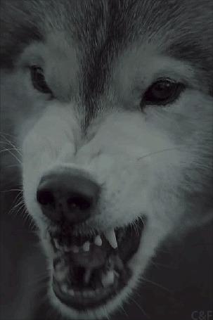 Анимация Злой волк открывает пасть (© zmeiy), добавлено: 04.03.2015 19:39