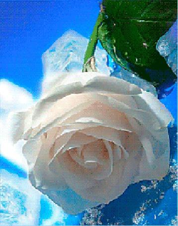 Анимация Цветок белой розы с зеленым листом
