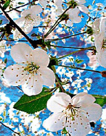 Анимация Ветки цветущей вишни на фоне голубого неба