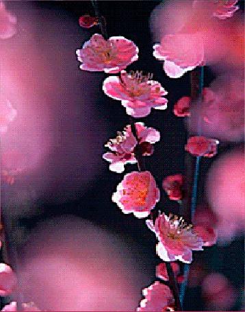 Анимация Цветущие ветки сакуры колышутся на ветру