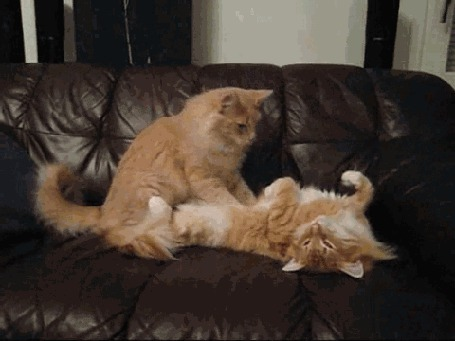 Анимация Кот делает кошке массаж