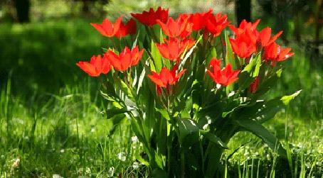 Анимация Распустившиеся красные цветы на фоне зеленой травы (© BlackAssol), добавлено: 05.03.2015 14:36