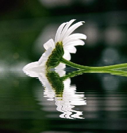 Анимация Ромашка лежит на воде