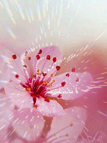 Анимация Сверкающий розовый цветок (© Lo), добавлено: 06.03.2015 11:38