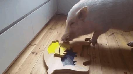 Анимация Свинья с интеллектом складывает пазлы (© Anatol), добавлено: 07.03.2015 00:37