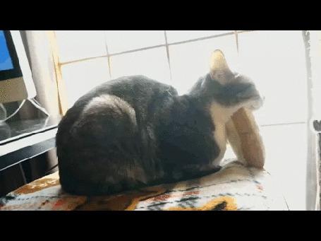 Анимация Две кошки задремали, ожидая сеанс массажа (© Anatol), добавлено: 07.03.2015 00:41