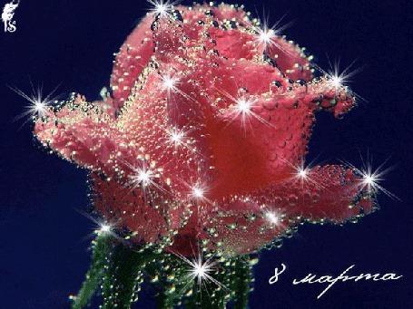 Анимация Красная роза блестит капельками росы (8 марта)