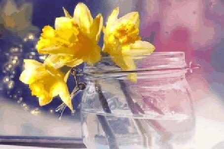 Анимация Желтые нарциссы в баночке с водой (© zmeiy), добавлено: 08.03.2015 12:08