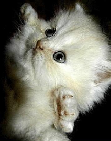 Анимация Белый пушистый котенок стоит на задних лапах, поднял вверх передние лапы и забавно моргает глазками