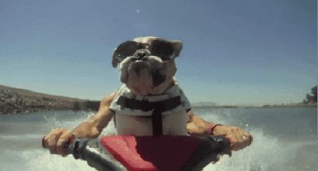 Анимация Собака породы бульдог мчится на водном мотоцикле в солнцезащитных очках, держась за руль (© Akela), добавлено: 09.03.2015 19:14