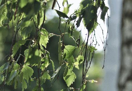 Анимация Колышущиеся от ветра ветки с листьями, by dragonfly-oli