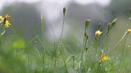 Анимация Капли дождя падают на одуванчики