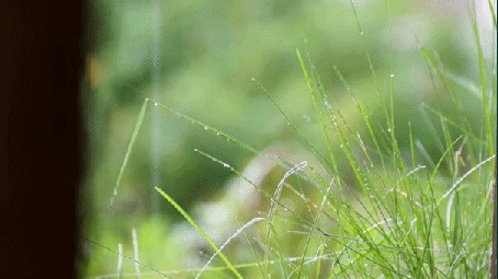 Анимация Капли дождя падают на траву (© Krista Zarubin), добавлено: 12.03.2015 13:14