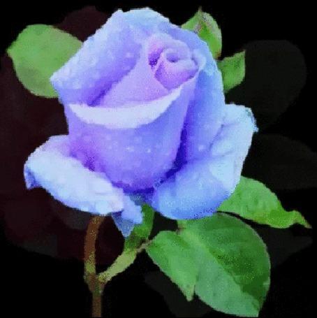 Анимация Синяя роза с зелеными листочками, в капельках росы на черном фоне (© Георгий Тамбовцев), добавлено: 15.03.2015 00:55