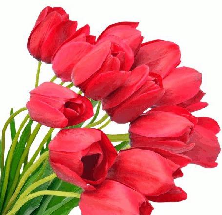 Анимация Красные тюльпаны на белом фоне