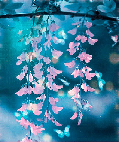 Анимация Голубые бабочки летят сквозь цветы розовой акации (© Akela), добавлено: 18.03.2015 22:25