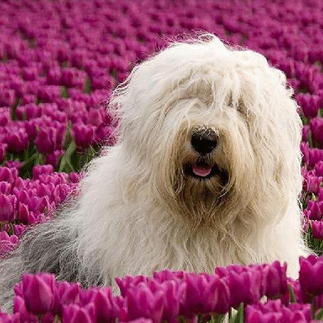 Анимация Белый лохматый пес сидит среди розовых тюльпанов (© Akela), добавлено: 20.03.2015 00:54