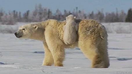Анимация Медведица отправилась в путешествие с прицепившимся к ней медвежонком (© Anatol), добавлено: 20.03.2015 15:43