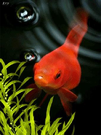 Анимация Золотая рыбка под воджой (© chucha), добавлено: 01.03.2015 01:05