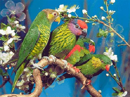 Анимация Четыре зеленых попугая сидят на цветущей ветке вишни (© elenaiks), добавлено: 24.03.2015 08:04