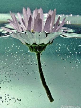 Анимация Розовый цветок в воде (© zmeiy), добавлено: 01.03.2015 01:17