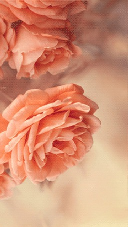 Анимация Две персиковые розы (© zmeiy), добавлено: 01.03.2015 01:20