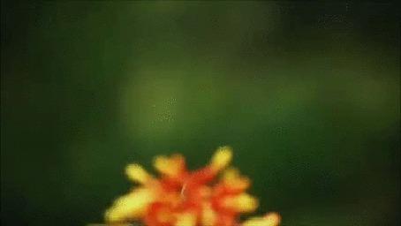 Анимация Хулиганистый колибри клюнул в голову своего сотоварища, затем чуть не попал в паучью паутину