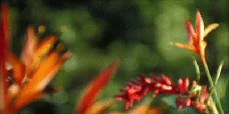 Анимация Колибри в погоне за мелким насекомым (© Георгий Тамбовцев), добавлено: 25.03.2015 18:40