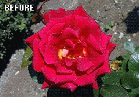 Анимация Меняющая цвет роза с меняющимся фоном BEFORE, AFTER!/ До, После! (© Akela), добавлено: 02.04.2015 22:41