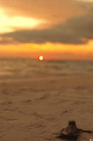 Анимация Черепашка пытается доползти до моря (© Seona), добавлено: 04.04.2015 14:42
