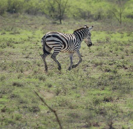 Анимация Покадровое изменение местности с бегущей зеброй, Ben Heine (© Akela), добавлено: 04.04.2015 17:41