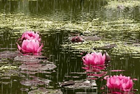 Анимация Розовые кувшинки в пруду под дождем