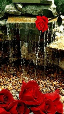 Анимация Красная роза на памятнике со стекающей водой и розы на камешках, by maryla (© zmeiy), добавлено: 06.04.2015 15:30