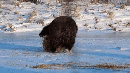 Анимация Медвежонок, словно почуяв приближение весны, радостно кувыркается на льду (© Anatol), добавлено: 13.04.2015 21:25